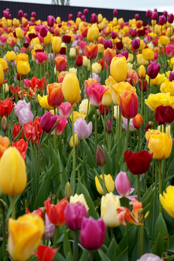 10 spennende fakta om tulipaner