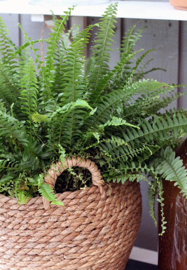 Plante med spiss form