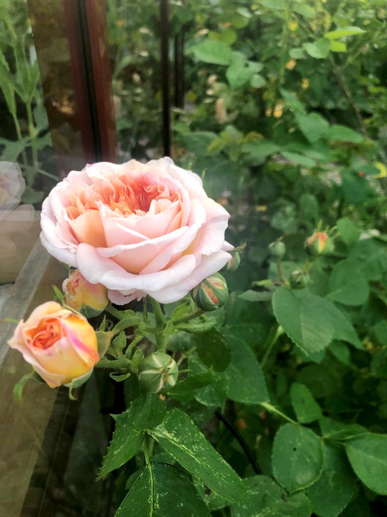 Å ta stiklinger av roser – en suksess!
