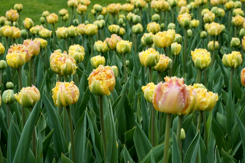 sette blomsterløker i krukke