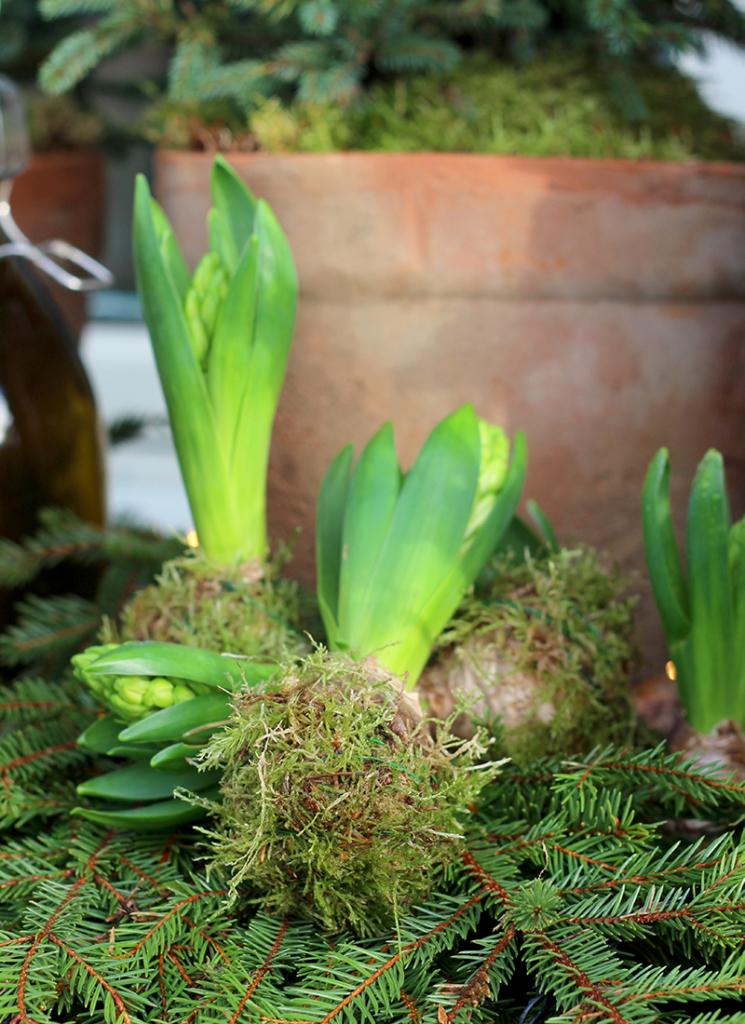 Elskede hyacinter