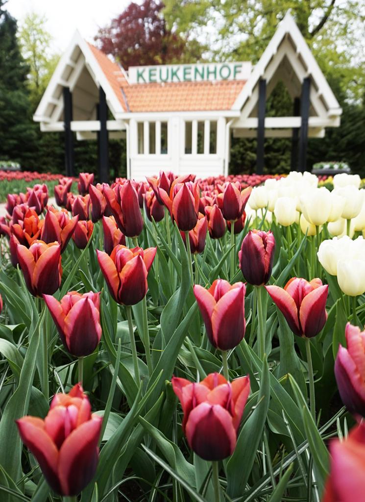 tulipanene i Amsterdam